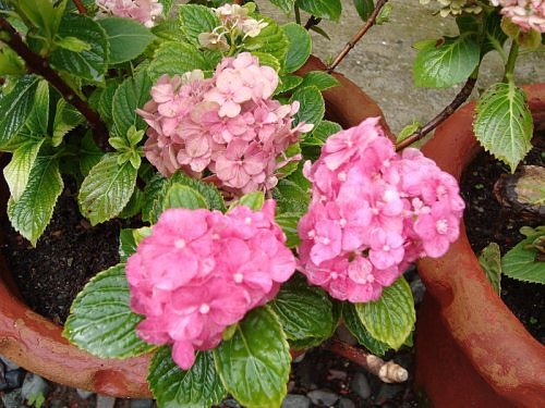 Potted Hydrangea, Flora of Nainital, The Naini Retreat, Kumaon Himalaya