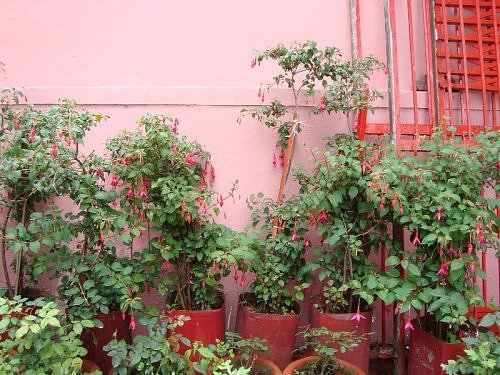 Fuschia in flower pots at Naina Devi temple, Nainital, Kumaaon Himalaya, India