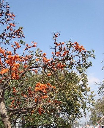 Flowering trees of India, Dhak or Palash tree at madhya pradesh