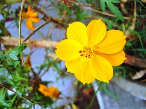 Yellow cosmos, winter seasonal flower