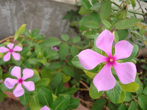Periwinkle, sadabahar flower,summer seasonal flower, indian garden