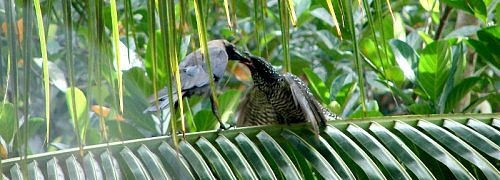 Indian cuckoo, koel, nest, birdwatching in India, urban birds of India