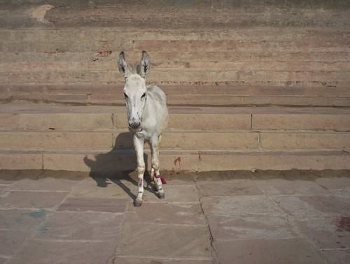 Donkey on a ghat in Kashi, Varanasi