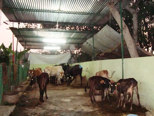 Shyam Khatu Mandir,Indian cows Lucknow,Uttar Pradesh, India