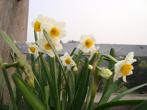 Narcissus in my rooftop garden in Lucknow, Uttar Pradesh, North India