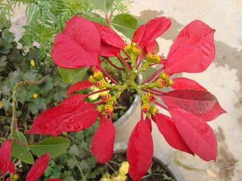 Poinsettia flower in my rooftop garden in Lucknow, Uttar Pradesh, North India