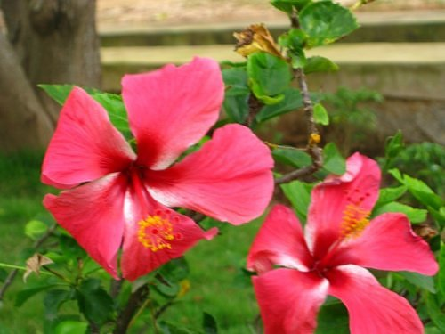 Red hibiscus, Japa kusum, Japa pushp, India
