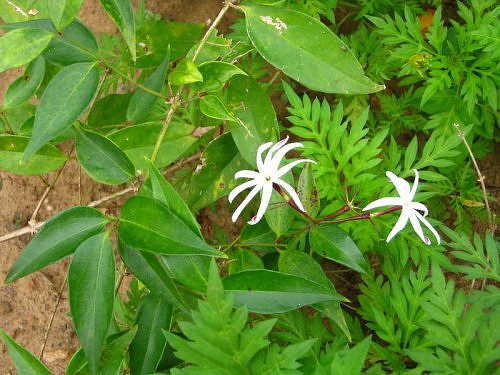 White Juhi Jasmine flower, Bangalore, India