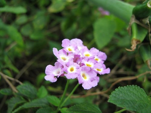 Mauve Lantana flower, Bangalaore, India Rainy Season