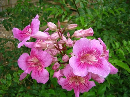 Mauve flowers on a shrub, Bangalore, India, Rainy season flower