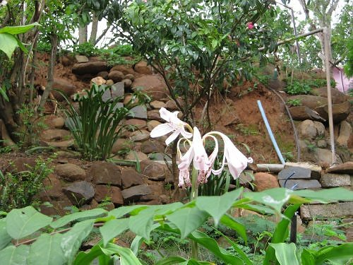 scented rain lily flowers,North and South India.