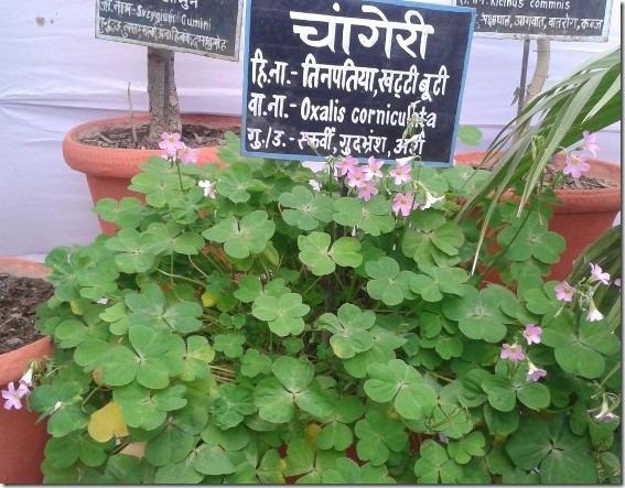 Chaangeri Ayurvedic herb home medicine