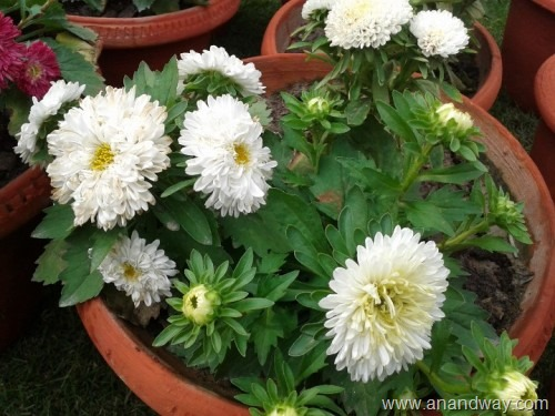aster (2)