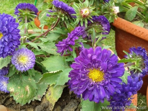 aster (4)