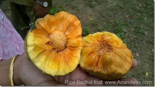 Badhal fruit