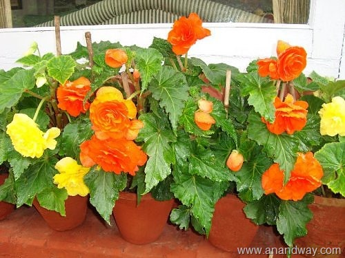 Begonia-at-The-Naini-Retreat,-Nainital