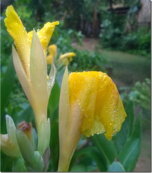 Canna flower, Indian garden
