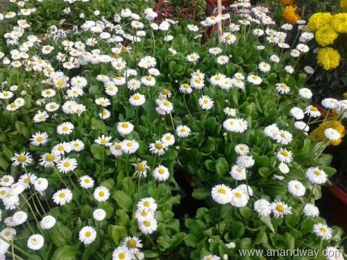 daisy flower (1)