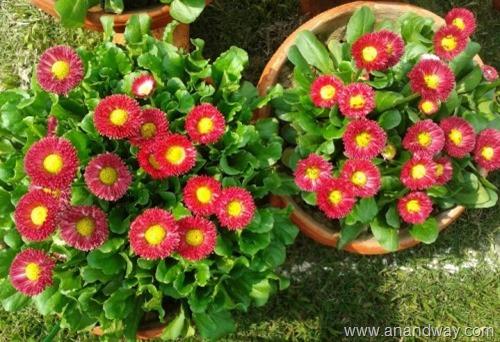 daisy flower (4)