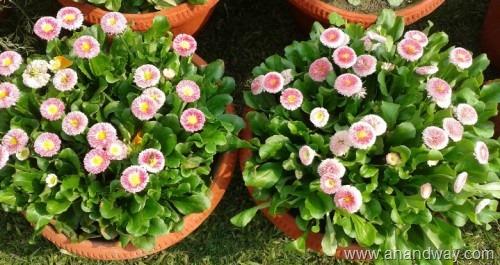 daisy flower (5)