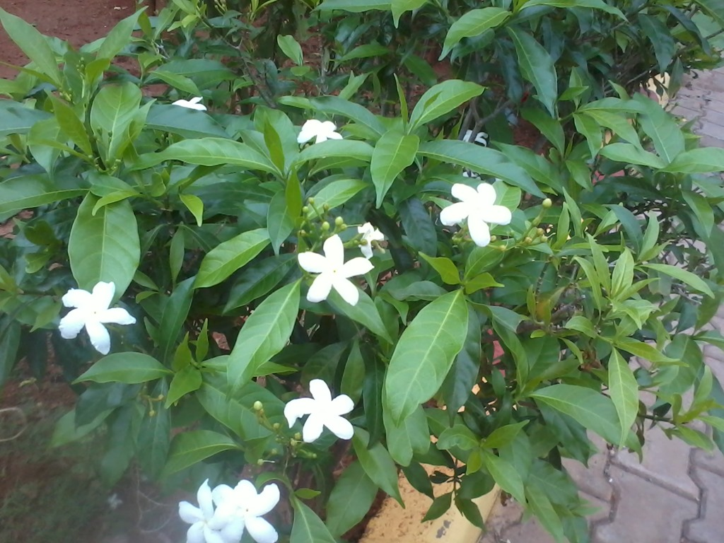 6 flowering shrubs of india that are not eaten by cattle white chandni flowers shrub sciox Images