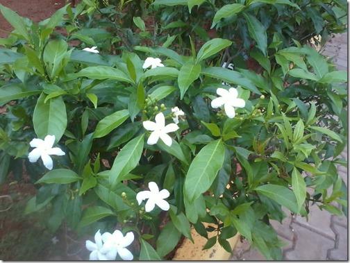 white chandni flowers shrub