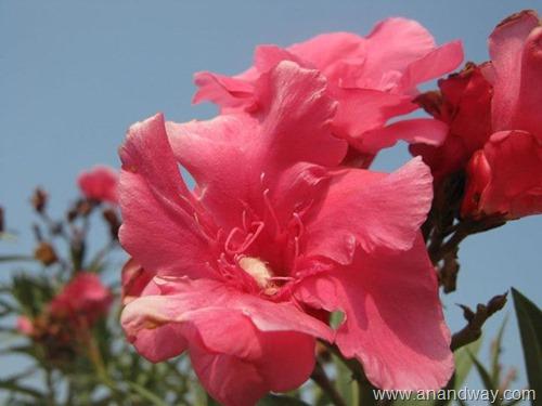 double oleander