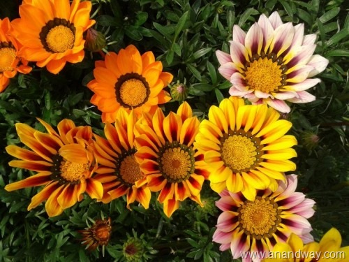 Sun tolerant flowering plants in north indian summer garden lucknow gazania spring garden india 5 mightylinksfo