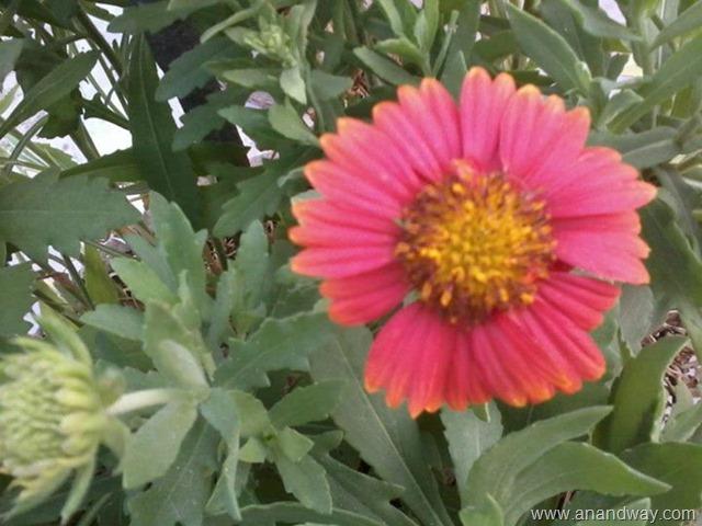 Glardia Is A Hardy Spring Summer Seasonal