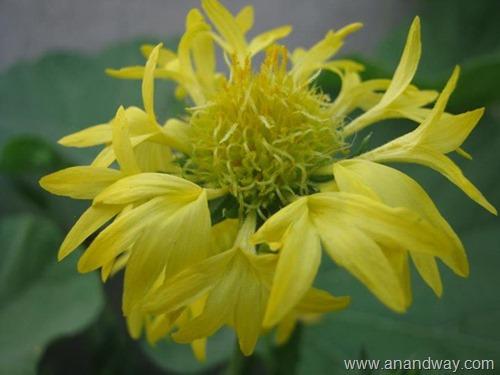 glardia flower