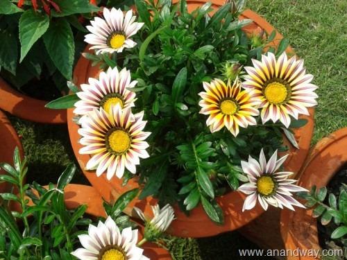 gazania, spring garden, india (1)