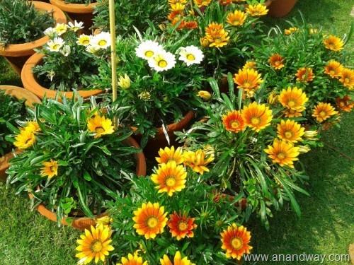 gazania, spring garden, india (2)