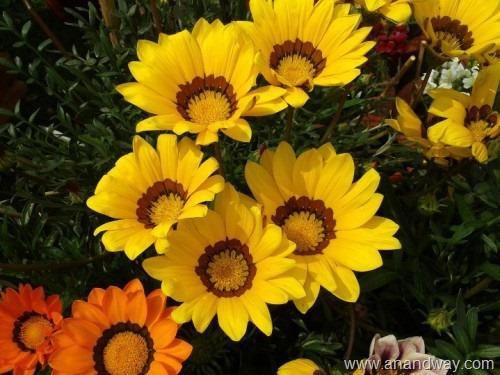 gazania, spring garden, india (4)