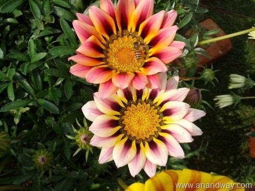 gazania, spring garden, india (6)