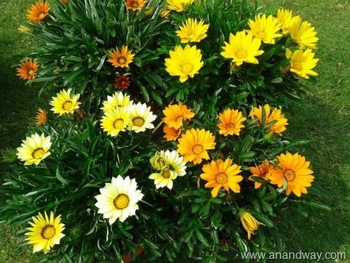 gazania, spring garden, india (7)