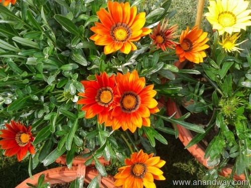 gazania, spring garden, india (9)