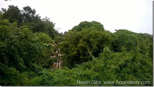 Neem Giloi India