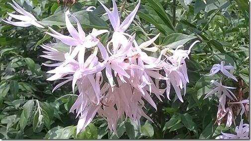 Juhi flower