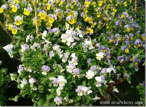pansy in lucknow garden in pots