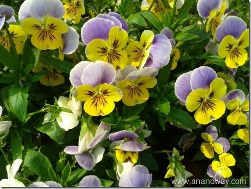 rooftop garden pansies in lucknow garden