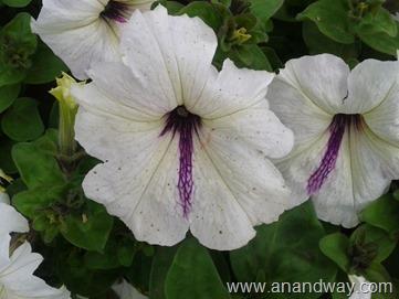 petunia in north indian garden (10)