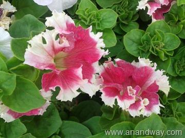 petunia in north indian garden (11)
