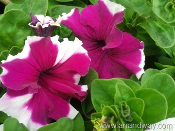 petunia in north indian garden (12)