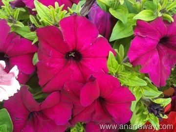 petunia in north indian garden (13)