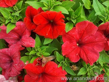 petunia in north indian garden (14)