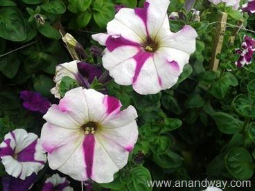 petunia in north indian garden (1)