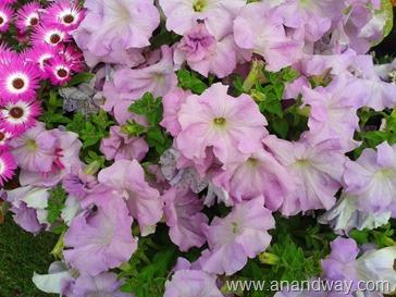 petunia in north indian garden (2)