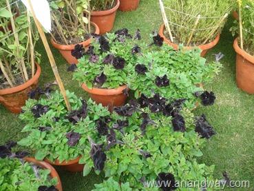 petunia in north indian garden (6)