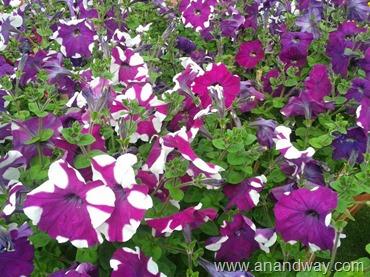 petunia in north indian garden (7)