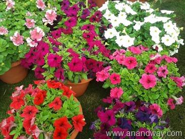 petunia in north indian garden (8)